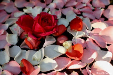 """""""Sonja's Floating Rose Petals"""""""